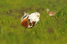 Free One Male Bustard Among Cereals Royalty Free Stock Images - 30669859