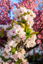 Free White Blossoms Of Apple On A Background Of Pink Sakura Tree Royalty Free Stock Photos - 30673188