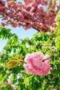 Free Sakura Flowers On A Green Tree Crown Royalty Free Stock Image - 30673596