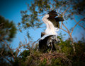 Free Wood Storks With Wings Spread, Mating Stock Photo - 30674190