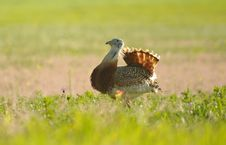 Free Bustard By The Field At Sunrise Stock Image - 30670381