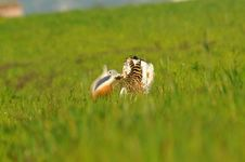 A Male Bustard Turning Cartwheels Royalty Free Stock Photos