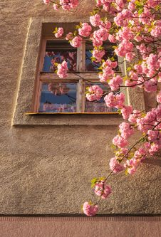 Sakura Blossom On A Sunny Spring Morning In Window Stock Photos