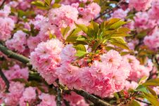 Free Gentle Pink Flowers Of Japanese Cherry Blossom In Sun Rays Stock Images - 30673304