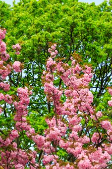 Free Flowers On The Branches Of Cherry Blossom Against A Green Tree Royalty Free Stock Photos - 30673398