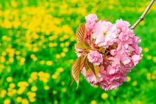 Free Bud Sakura Flowers On Blurred Background Of Green Grass Royalty Free Stock Photography - 30673427