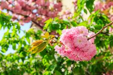 Free Sakura Flowers On A Green Tree Crown Royalty Free Stock Images - 30673549