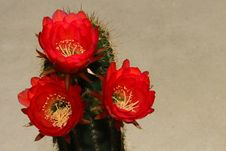 Free Cactus Flowers Royalty Free Stock Photos - 30673588