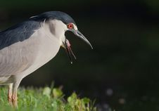 Free Screaming Black Night Heron In Profile Stock Photos - 30673743