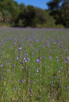 Free Field Of Purple Wild Flowers Royalty Free Stock Photo - 30673855