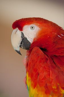 Free Ruby Red Macaw With Neutral Background Royalty Free Stock Image - 30674046