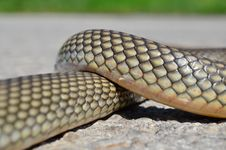 Free Non- Poisonous Aesculapius  Snake Stock Photos - 30674533