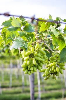 Free Close-up Of A Bunch Of Grapes On Grapevine Stock Images - 30675134