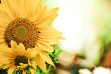 Free Sunflowers With Bokeh Background Stock Photos - 30675203