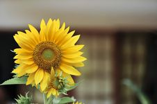 Free Sunflowers With Green Leaves Stock Photos - 30675213