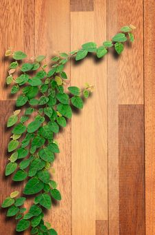 Free Ivy Fixing Climbing Tree On Brown Wood. Stock Image - 30676081