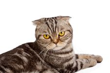 Scottish-fold Cat On White Royalty Free Stock Images