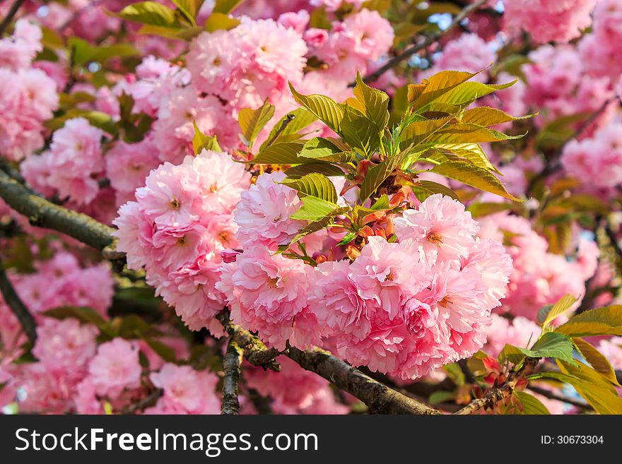 Gentle Pink Flowers Of Japanese Cherry Blossom In Sun Rays Free