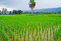 Free Green Rice Field,Thai Royalty Free Stock Photo - 30687185