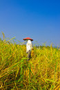 Free Female Works  Harvest  Rice In Field Royalty Free Stock Photography - 30687297