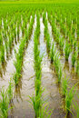 Free Green Rice Field,Thai Stock Photo - 30688280