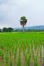 Free Green Rice Field,Thai Stock Photography - 30688622