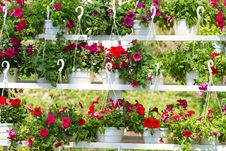 Free Flowers Of Petunia Stock Photography - 30682802