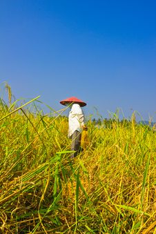 Female Works  Harvest  Rice In Field Royalty Free Stock Photography