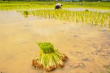 Seedlings Rice In Field,Thailand Royalty Free Stock Photos