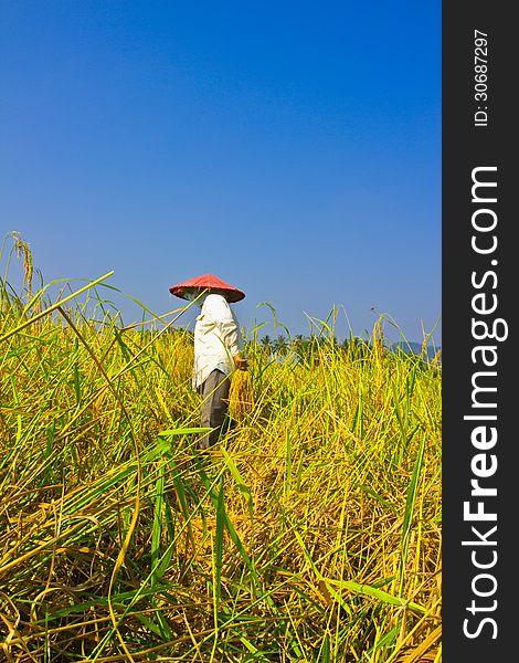 Female works  harvest  rice in field