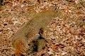 Free An Adult Bobcat Stalks His Prey. Royalty Free Stock Image - 30694726