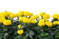 Free Marigold Royalty Free Stock Photos - 30697268