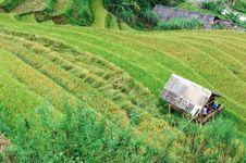 Stilt House Between The Rice Field With Men Inside Stock Photos