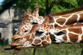Free Giraffes Sticking Tongues Out Royalty Free Stock Photo - 3074395