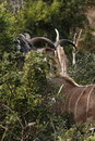 Free Kudu Stretching To Eat Stock Photos - 3077793