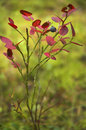 Free Bush Of A Bilberry Stock Image - 3079691