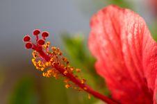 Free Hibiscus Flower Stock Image - 3070601