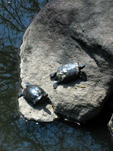 Free Japanese Turtles On Rock Stock Photography - 3071892
