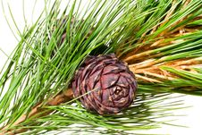 Free Siberian Cedar Branch Stock Photography - 3072402
