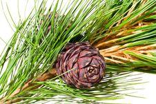 Siberian Cedar Branch Stock Photography