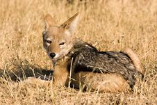 Free Black-backed Jackal In Savute Stock Images - 3072414