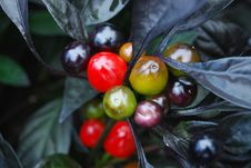 Free Beautiful Right Berry Plant Royalty Free Stock Photos - 3072528