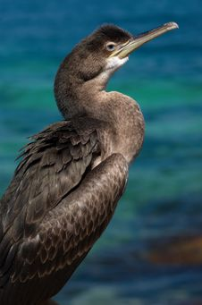 Free Sitting Cormorant Stock Photography - 3073692