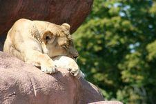 Free Sleepy Lioness Stock Photo - 3074270