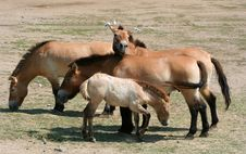 Free Przewalski S Horses And Foal Stock Photography - 3074272