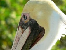 Free Pelican Closeup Profile Stock Photo - 3074470