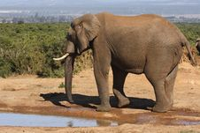 Free Bull Elephant Walking Away Royalty Free Stock Image - 3074866