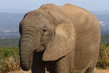 Free Beautiful Elephant Cow Stock Images - 3075294