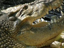 Crocodile Closeup Stock Photography