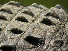 Free Crocodile Skin Closeup Royalty Free Stock Images - 3075929
